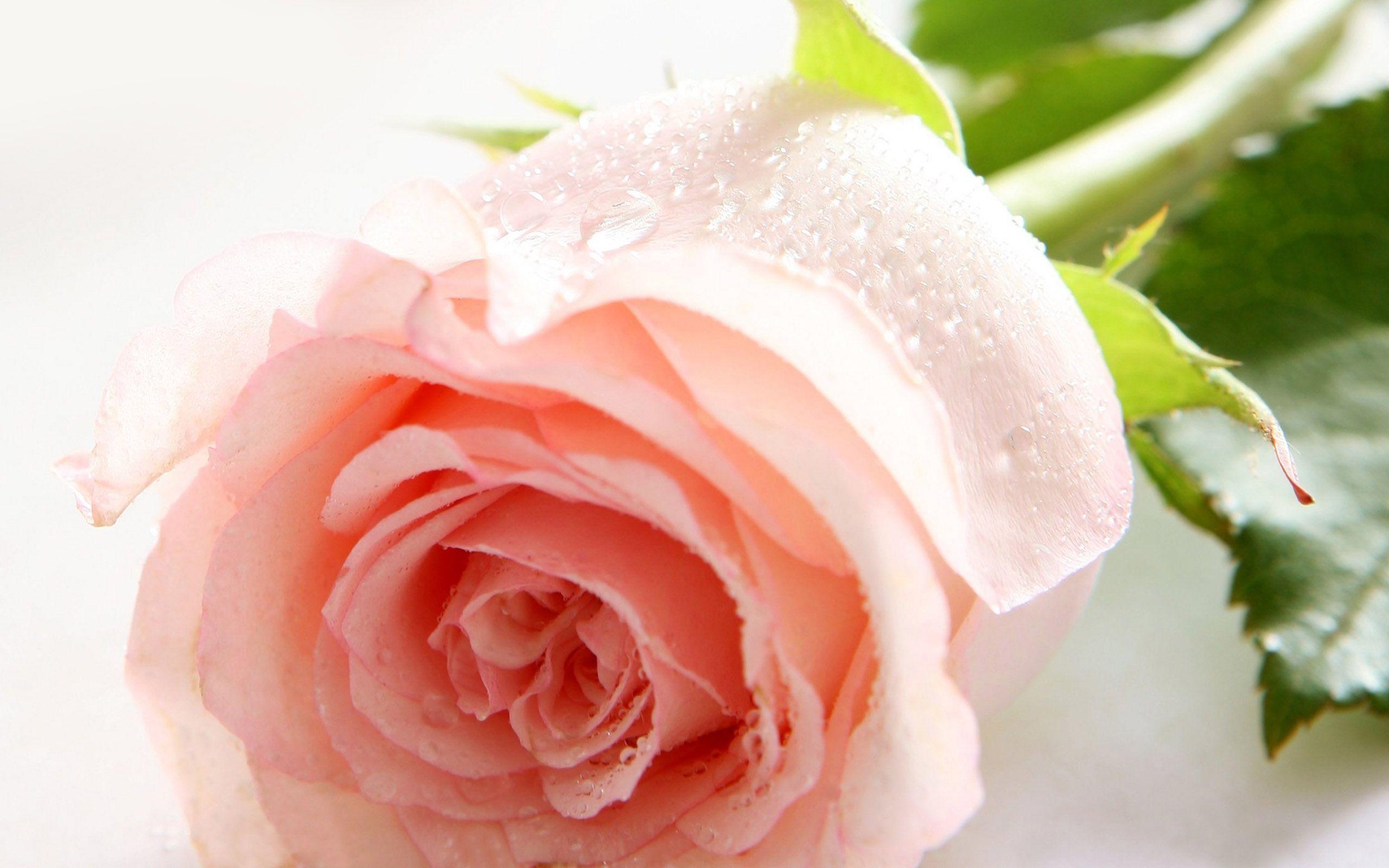 hình ảnh hoa hồng tình yêu