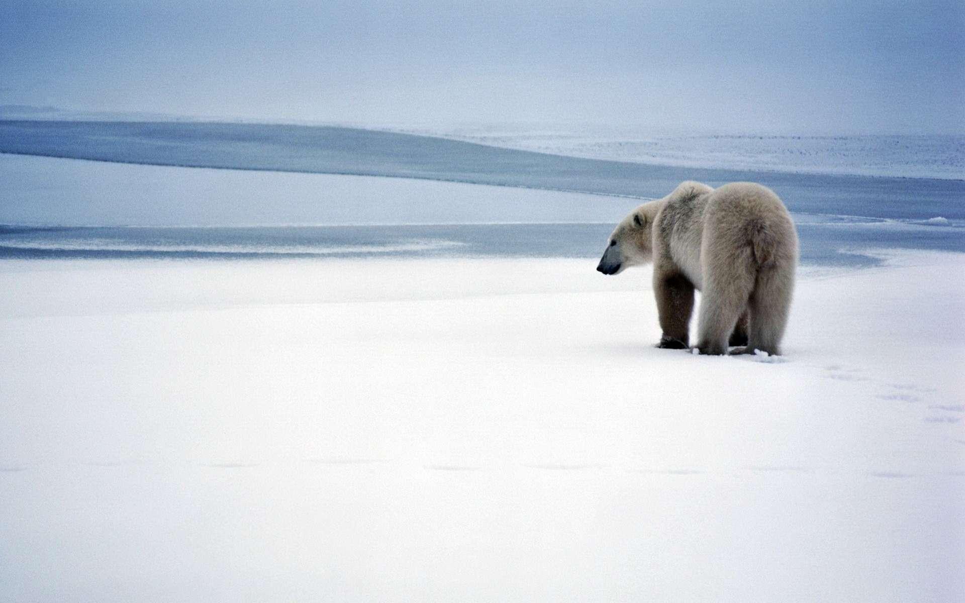 tải ảnh gấu bắc cực về desktop