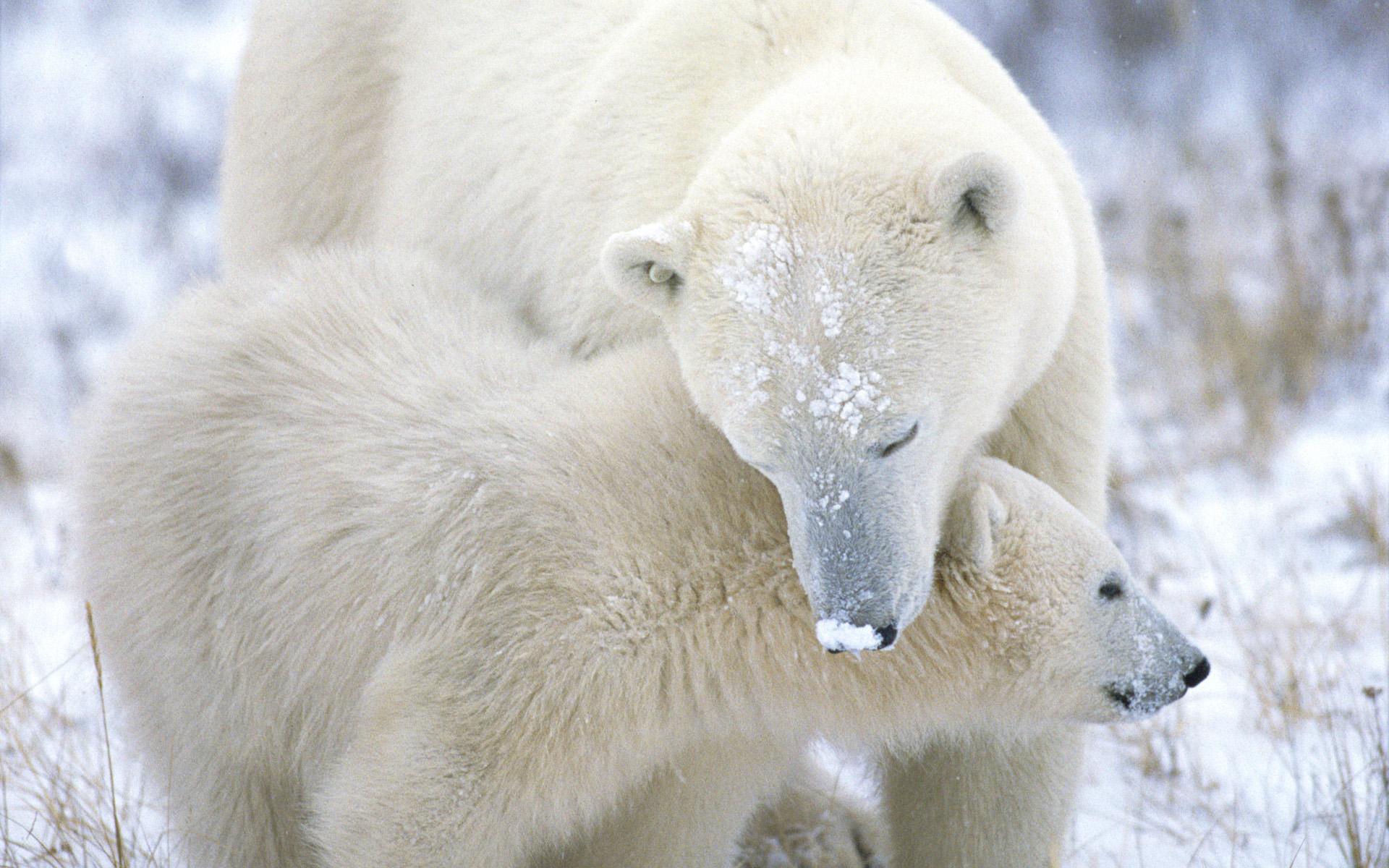 Hình ảnh đẹp của gấu bắc cực