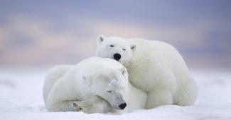 Hình ảnh gấu bắc cực đẹp full hd