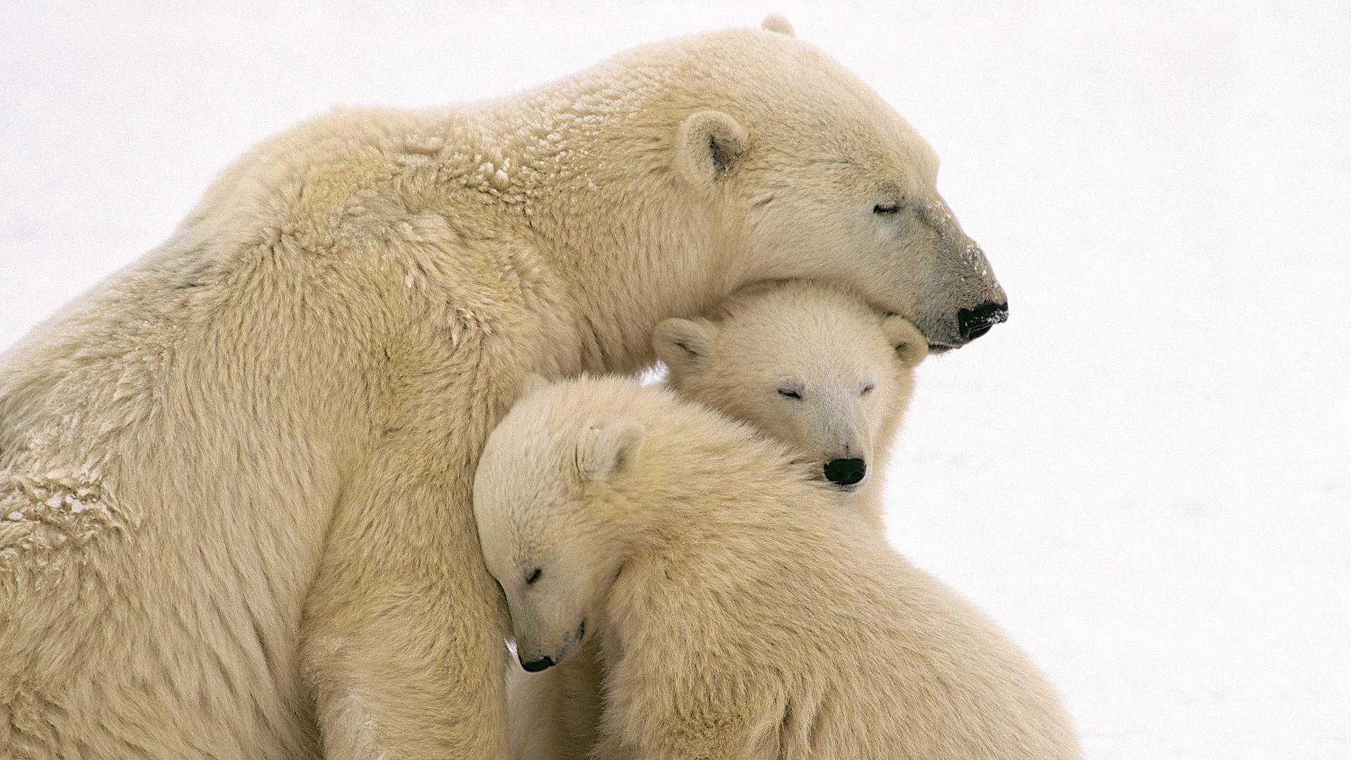 xem ảnh gấu bắc cực