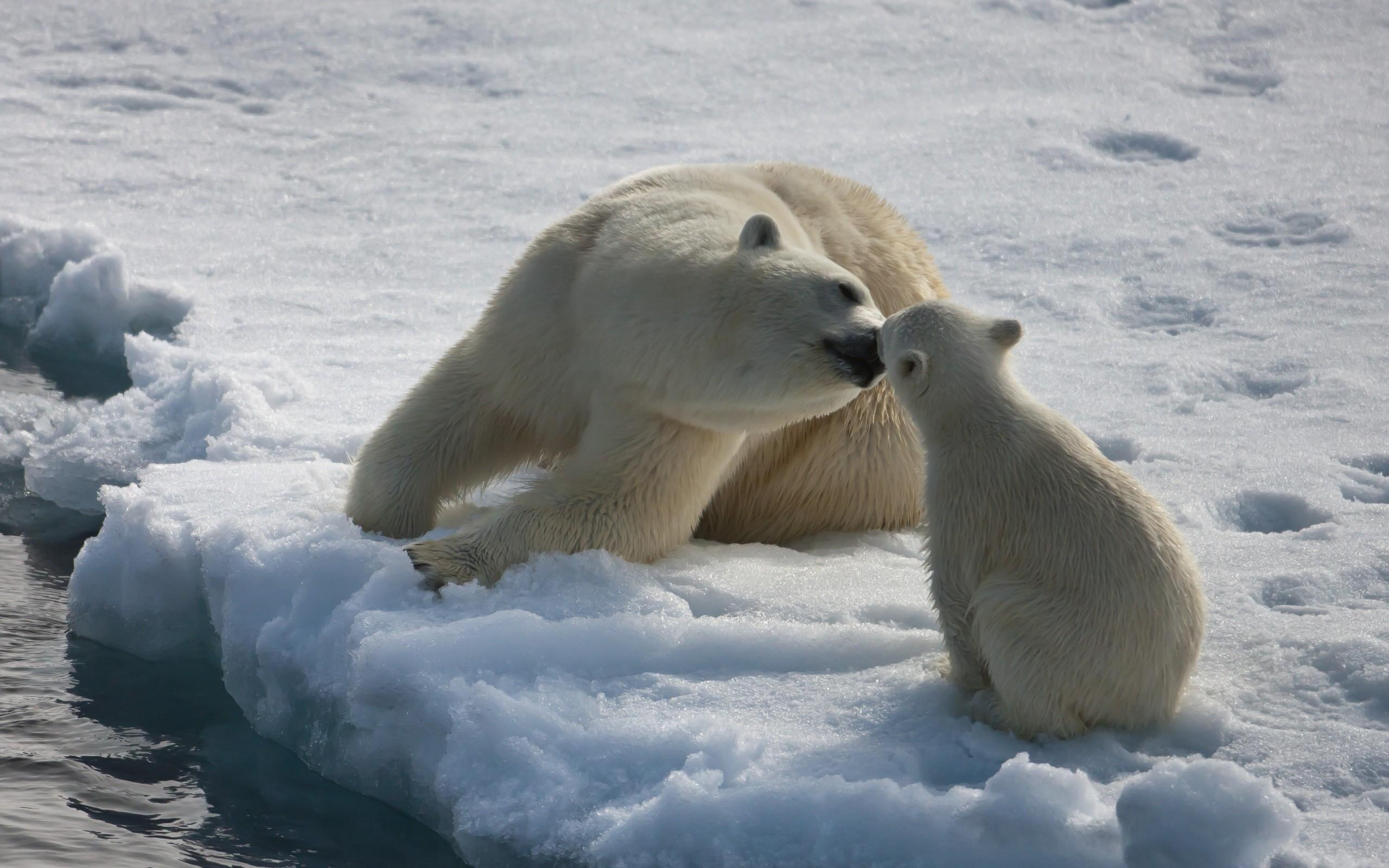 hình nền gấu bắc cực