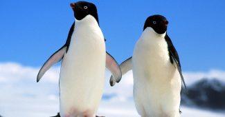 Hình ảnh chim cánh cụt dễ thương đáng yêu
