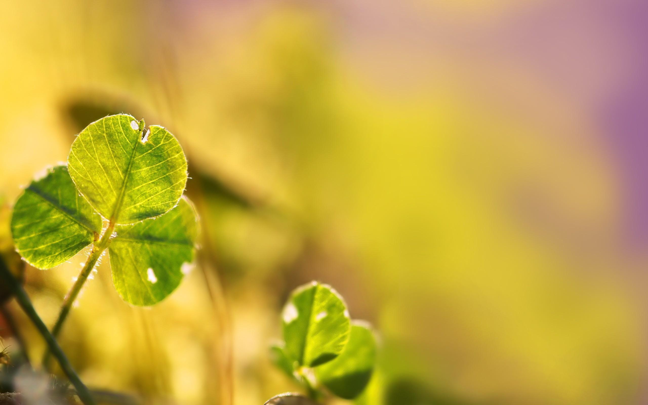 hình nền cỏ ba lá