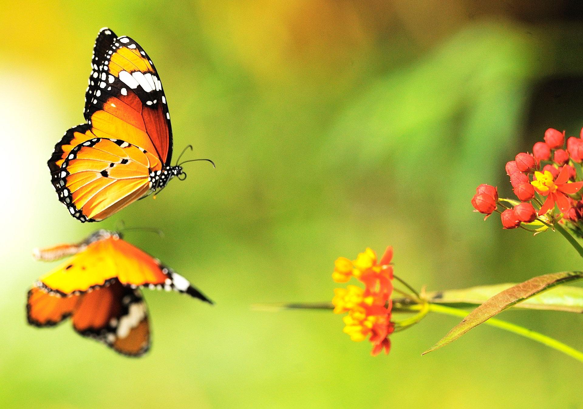 hình nền bươm bướm