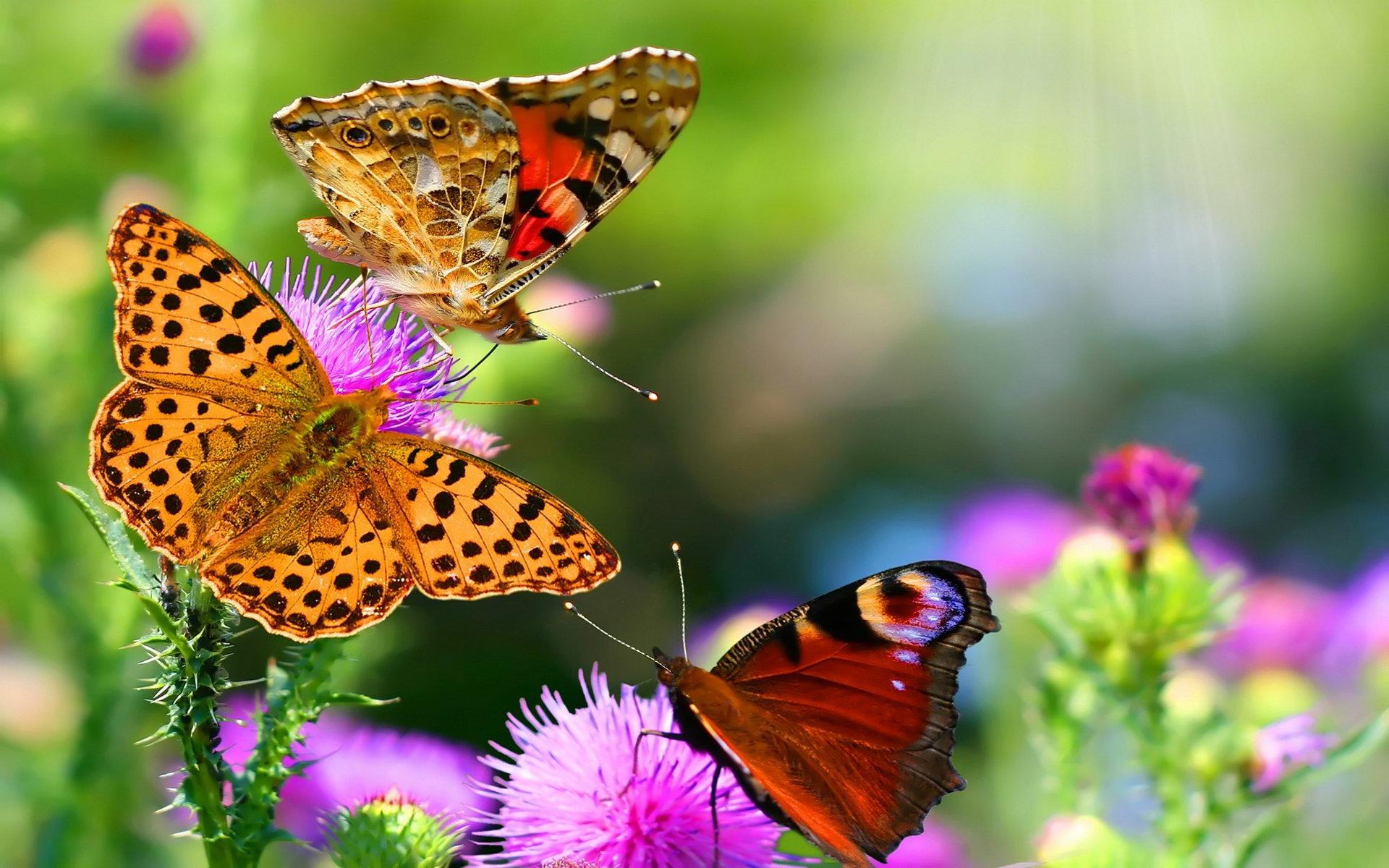 ảnh đẹp bươm bướm