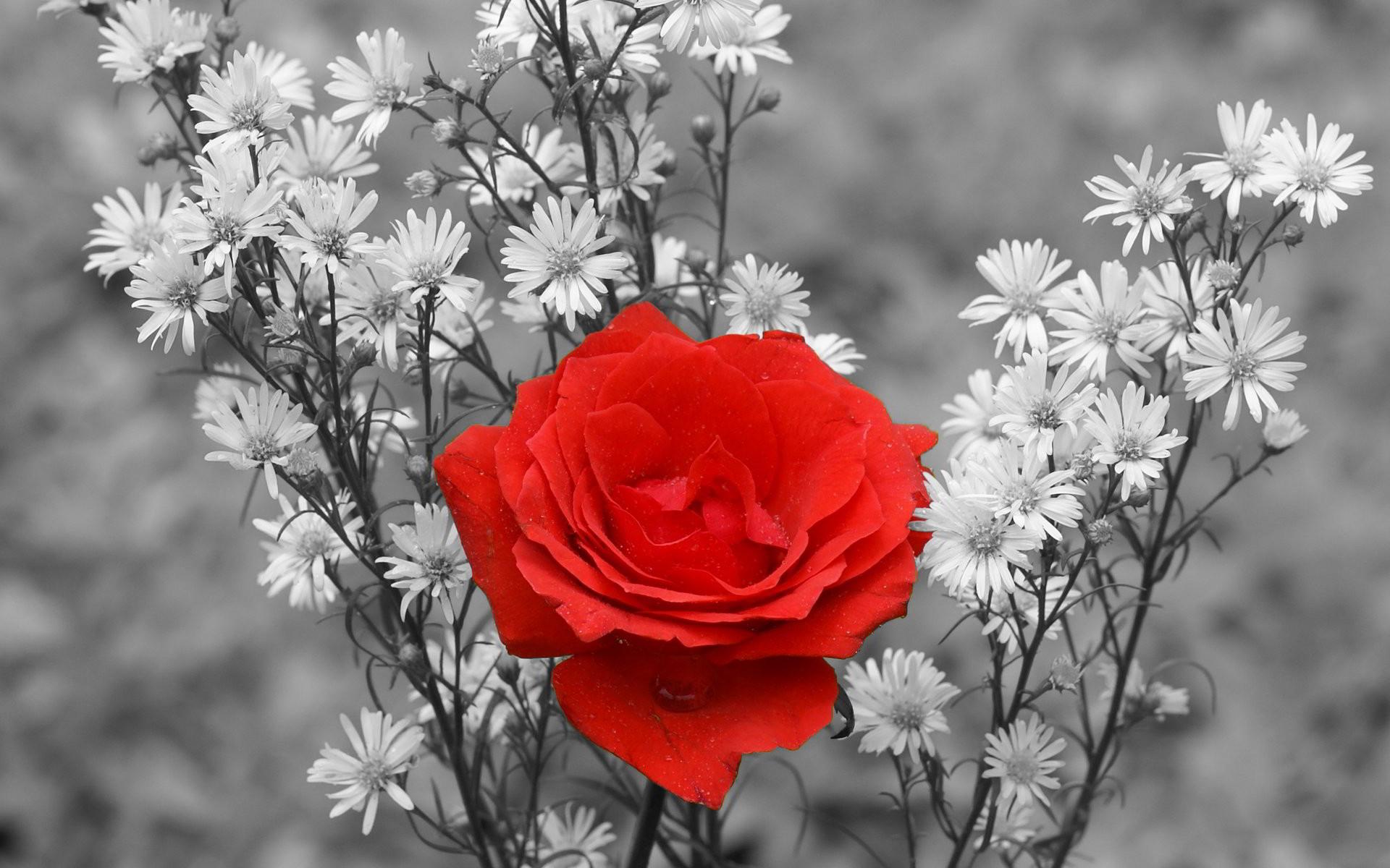 List hình nền hoa hồng đẹp cho máy tính