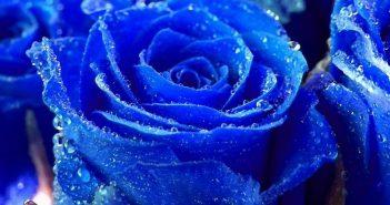 hình ảnh hoa hồng đẹp