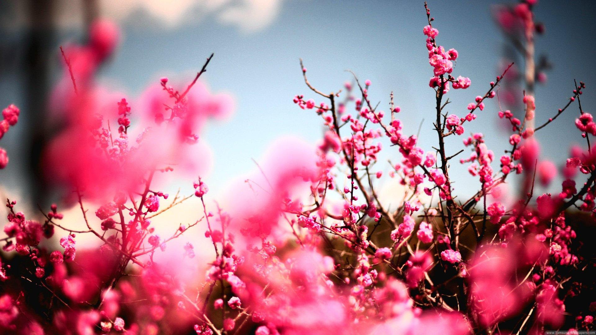 top hinh nen hoa dao dep 11