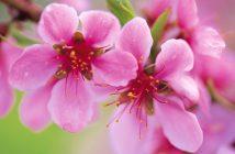 Hình ảnh hoa đào đẹp