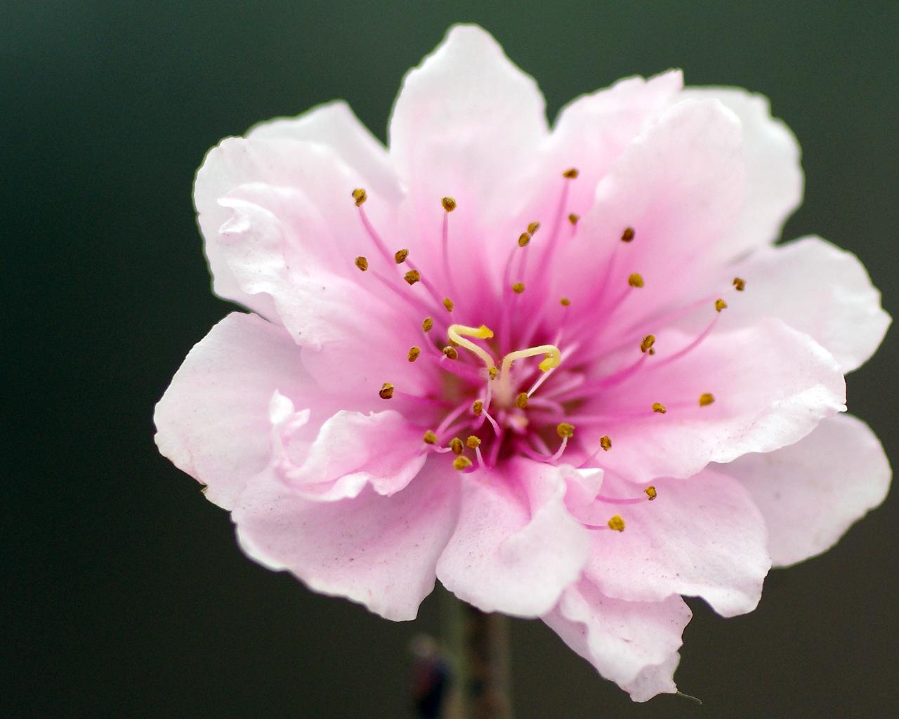 top hinh nen hoa dao dep 2