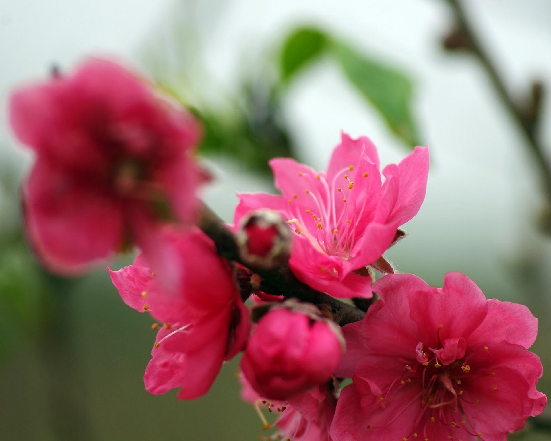 top hinh nen hoa dao dep 27