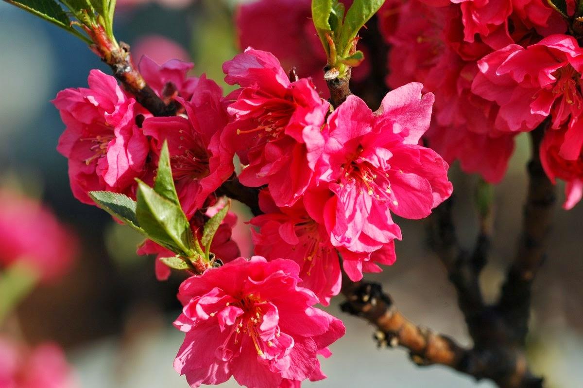 top hinh nen hoa dao dep 29