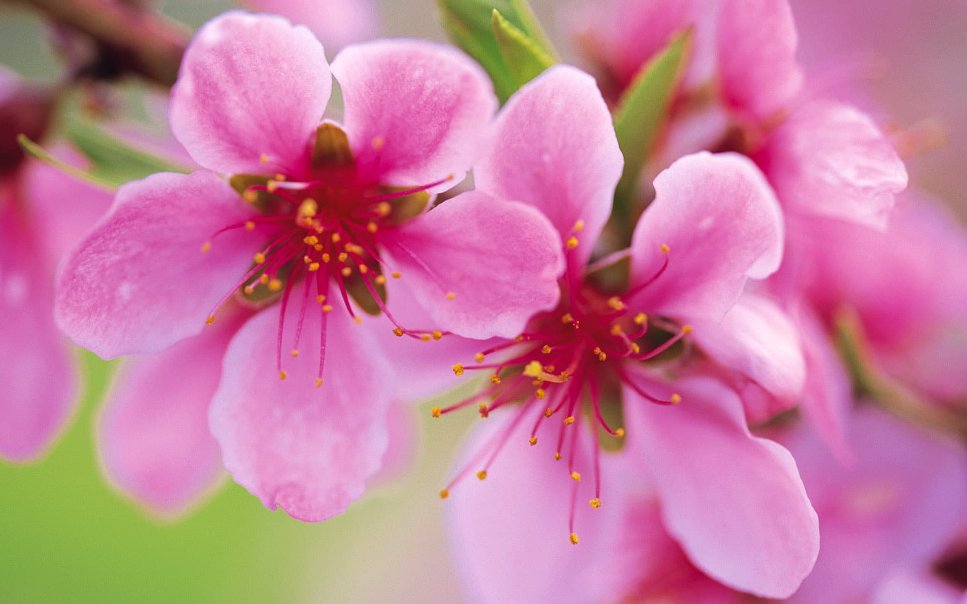 ảnh đẹp hoa đào