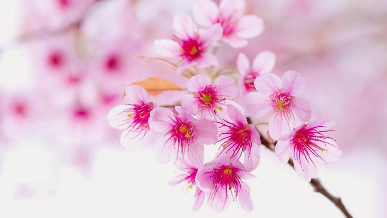hình ảnh hoa đào