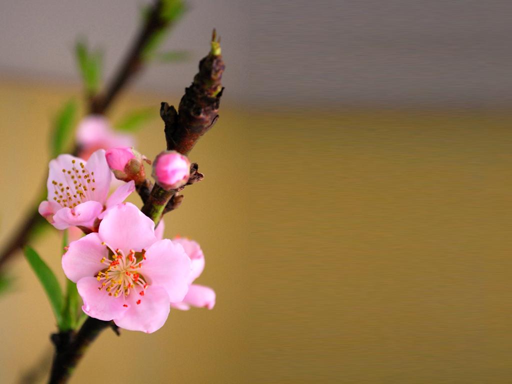 top hinh nen hoa dao dep 9