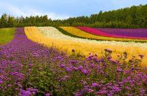 Hình ảnh cánh đồng hoa