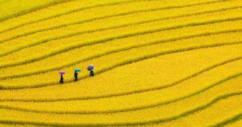 hình ảnh cánh đồng lúa vàng