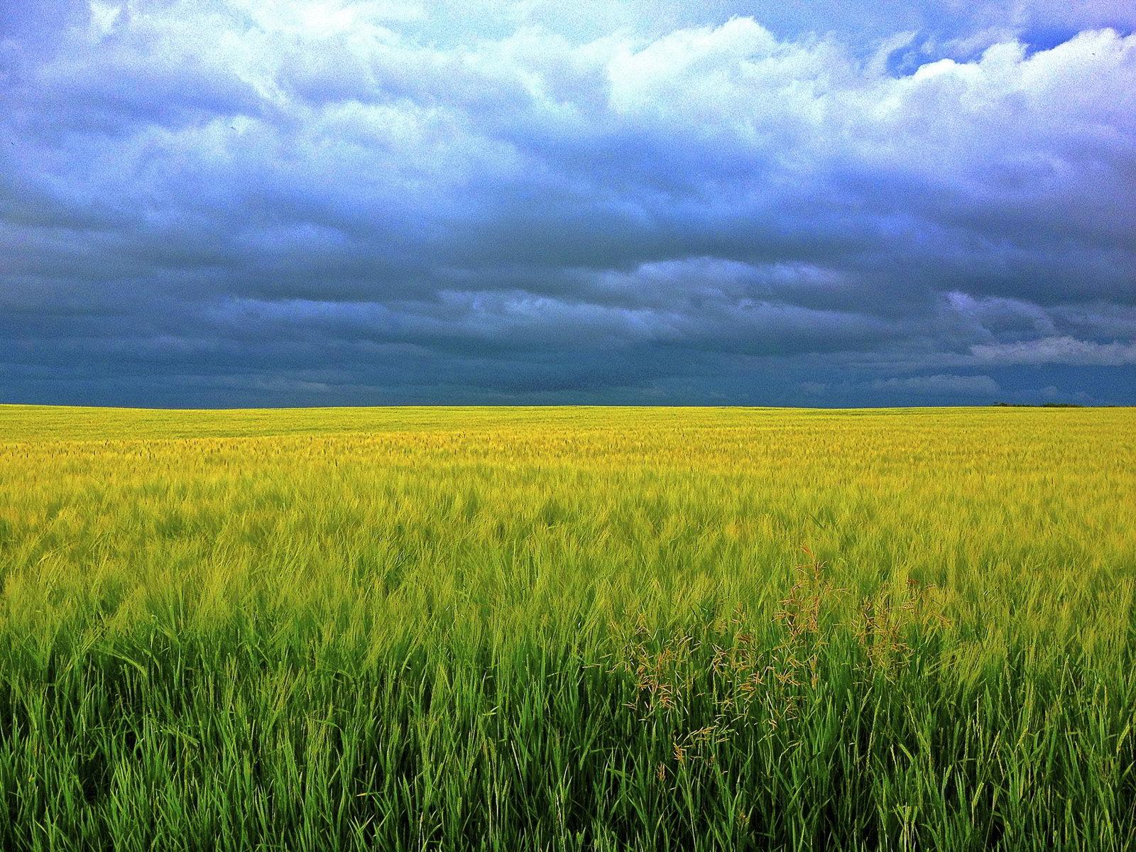 hình ảnh cánh đồng lúa chín