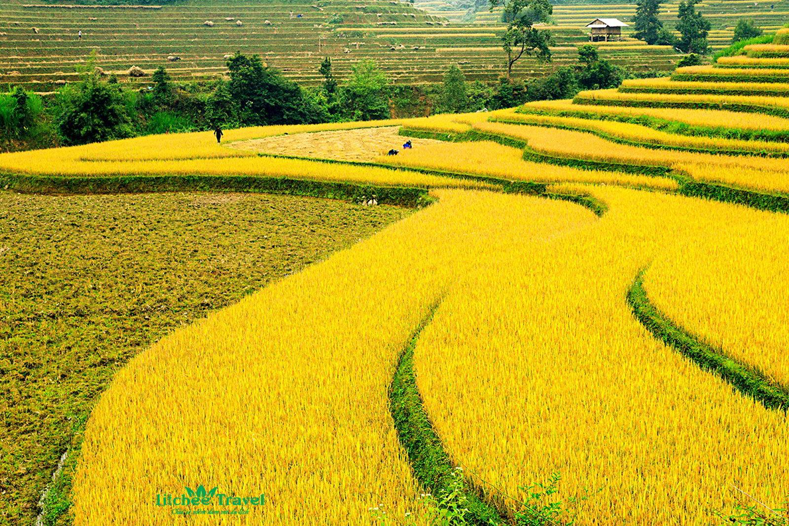 ảnh cánh đồng lúa đẹp
