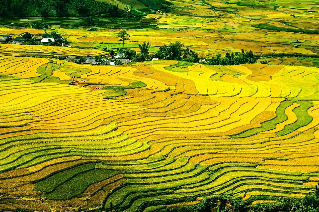 Nếu bạn yêu quê hương Việt Nam, yêu đồng lúa chín vàng thì hãy tải những hình ảnh đẹp mê li này về làm hình nền máy tính hoặc dán lên tường ...