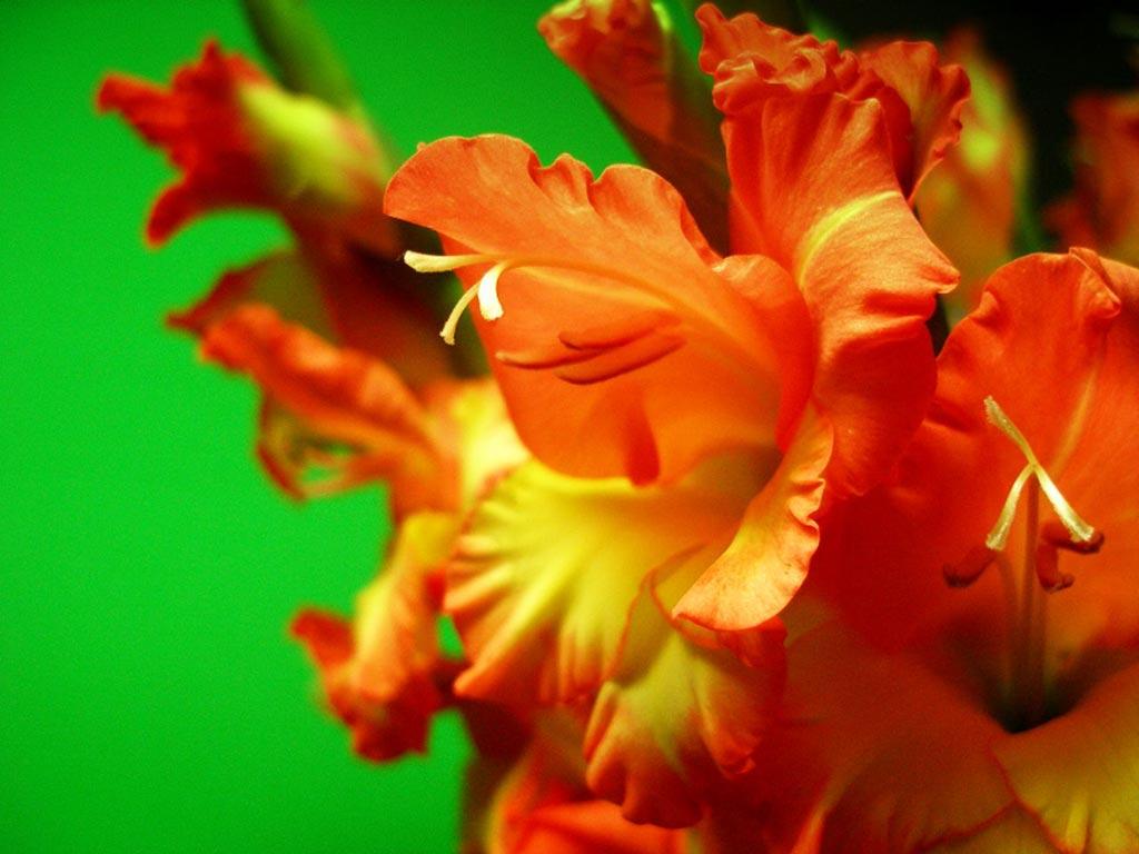 tải ảnh hoa lay ơn