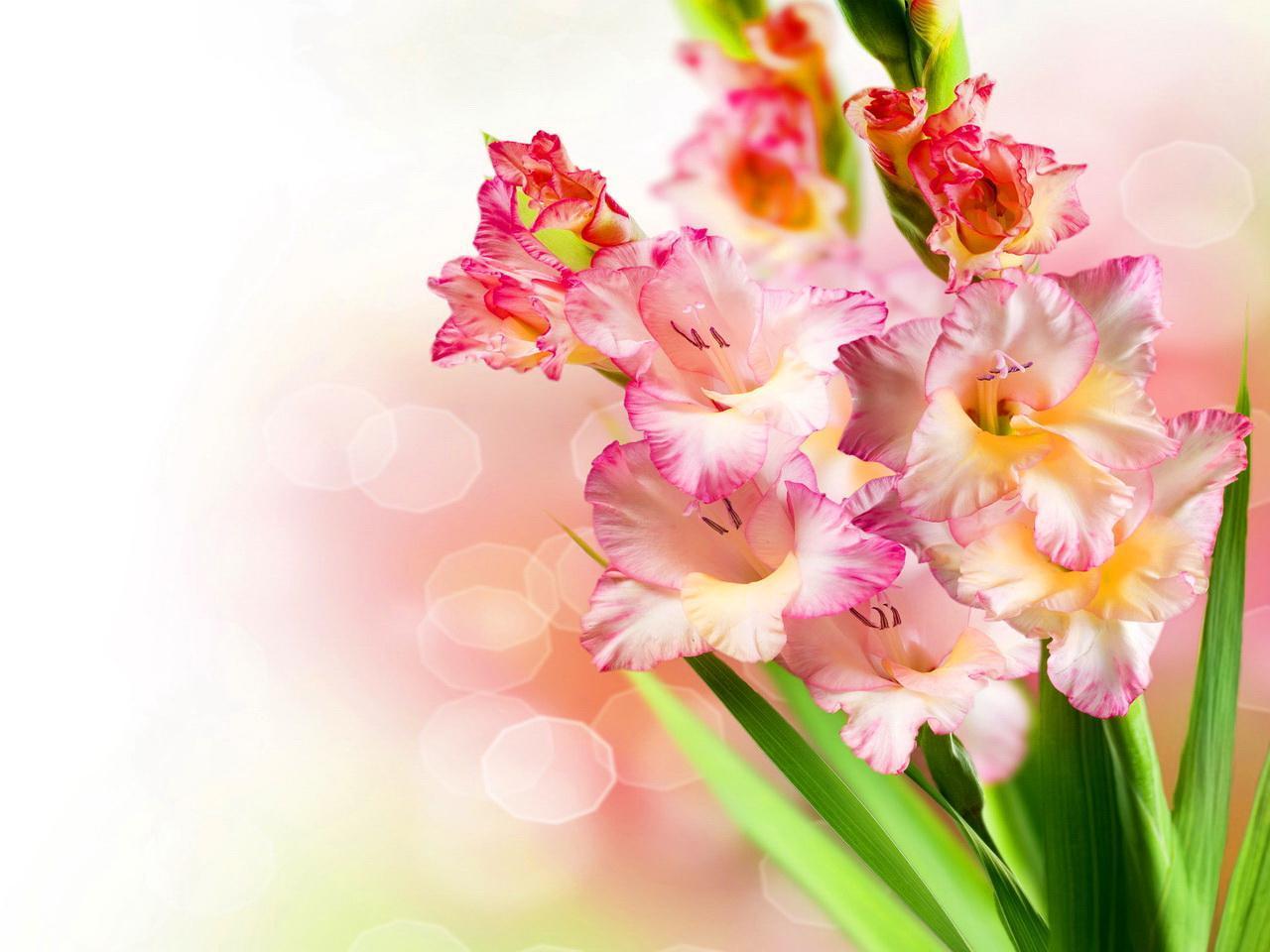 hình nền hoa lay ơn