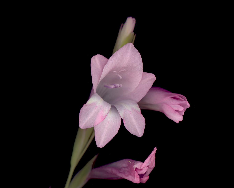 hình ảnh đẹp của hoa lay ơn