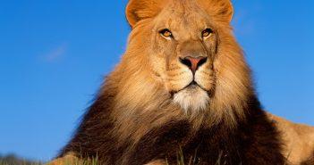 Hình nền sư tử đẹp