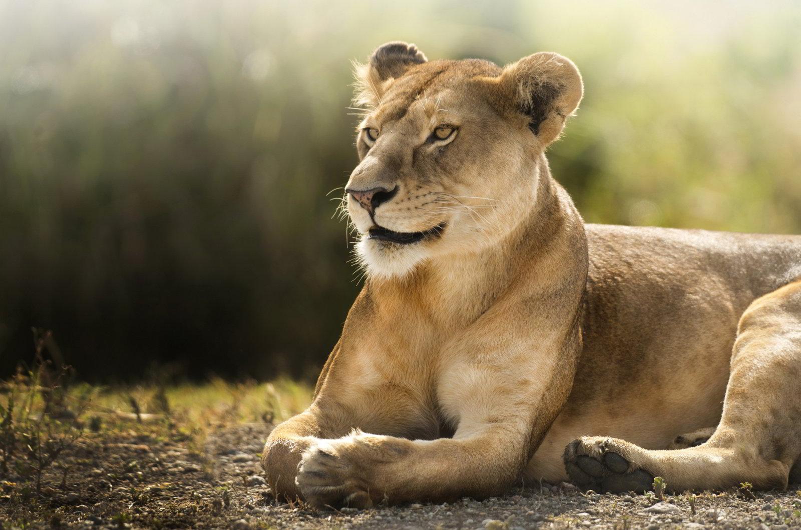 Sư tử tuy trông hung dữ như vậy, nhưng lúc còn bé thì cũng đáng yêu không kém đâu. Khi còn bé chính cũng trông giống như một chú mèo con hiền ...