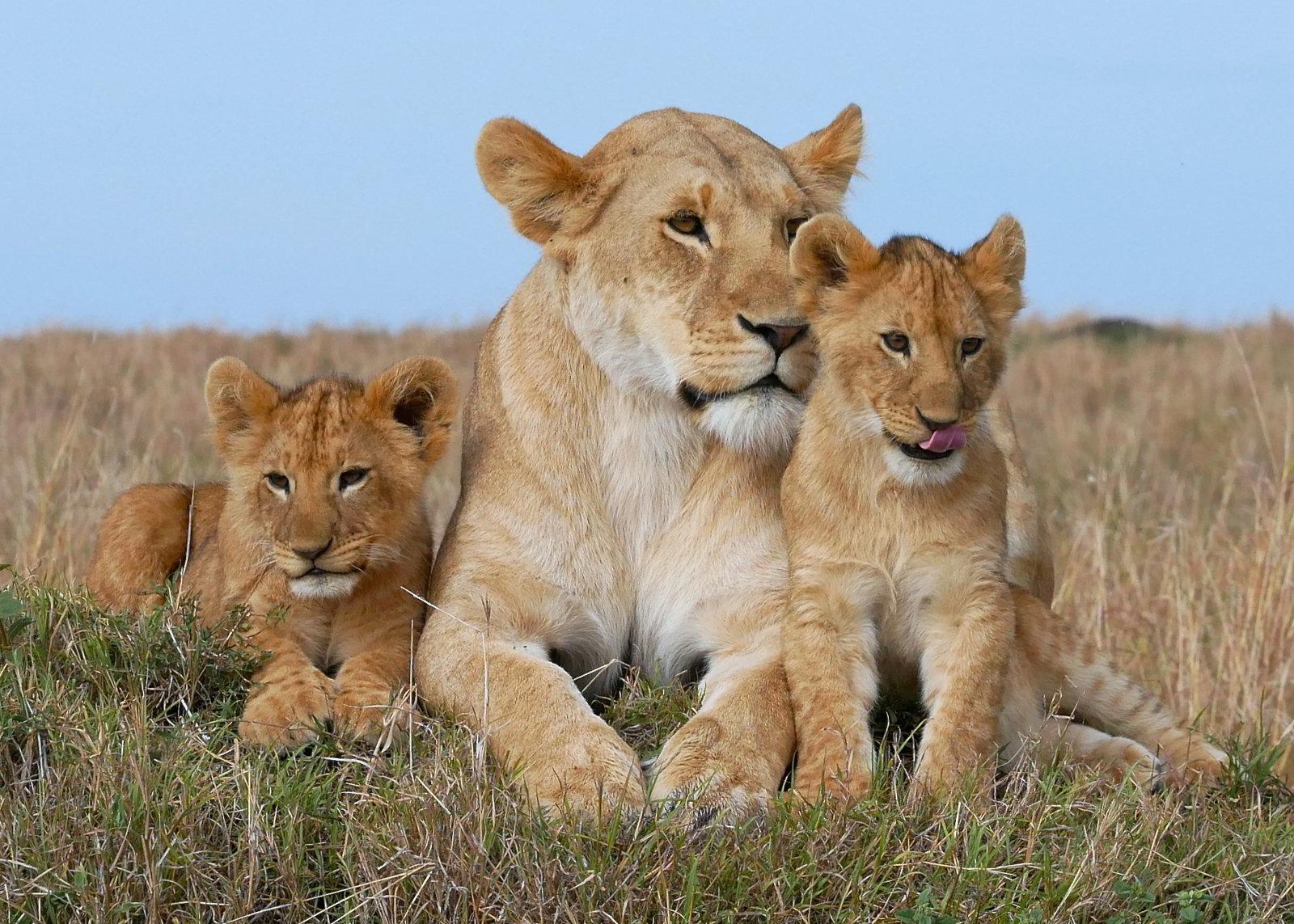 Hy vọng sau khi chiêm ngưỡng bộ sưu tập này bạn sẽ lựa chọn được cho mình những bức ảnh đẹp và ưng ý về những chú sư tử trong thiên nhiên ...