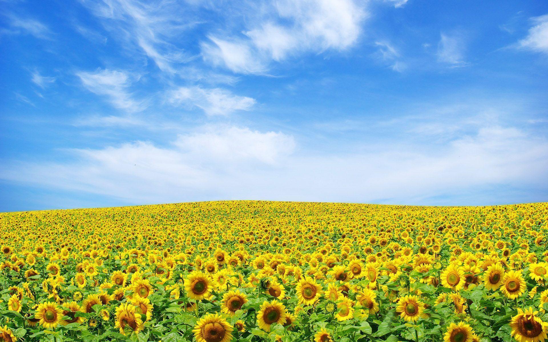 hinh nen hoa huong duong 10