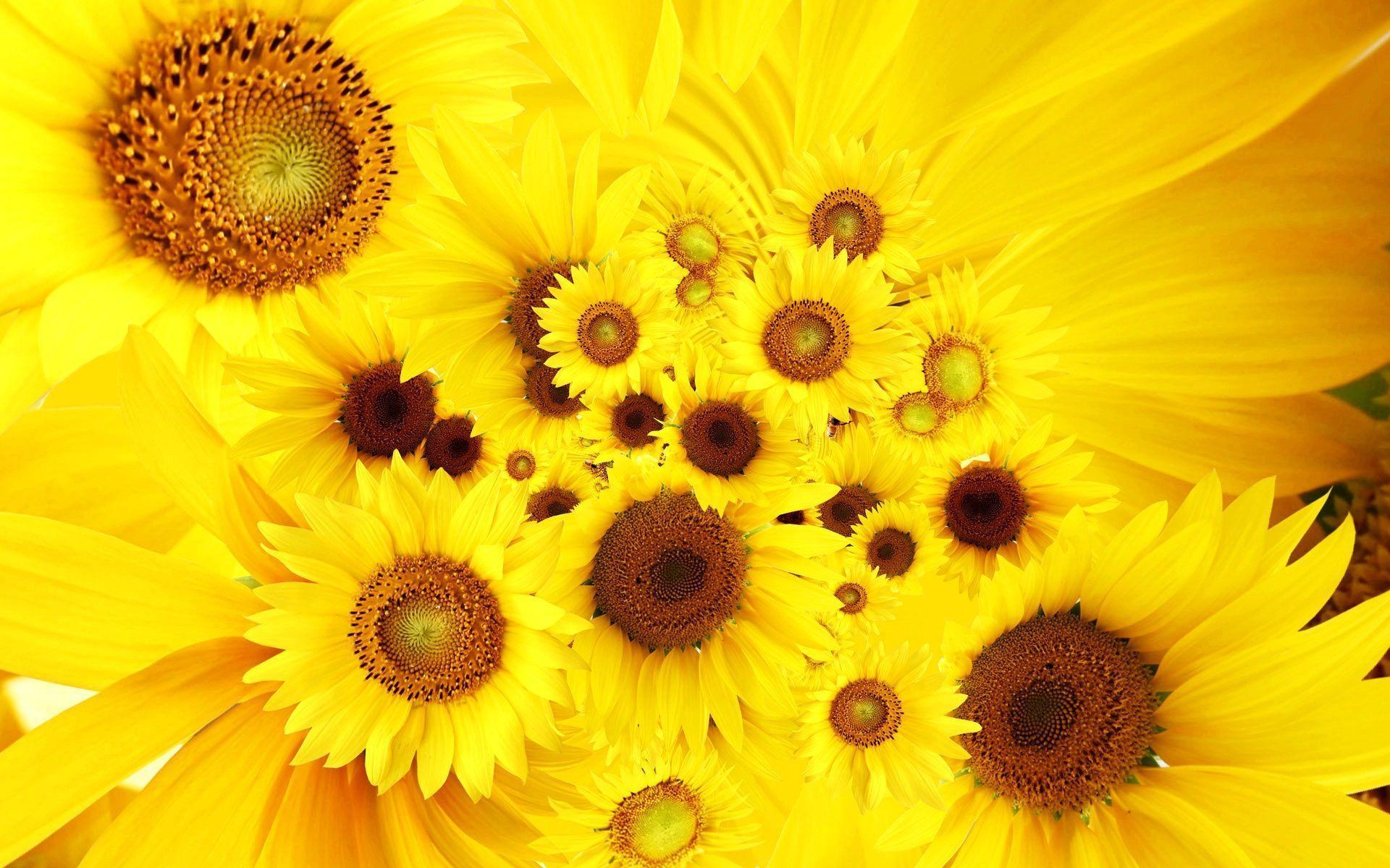 hinh nen hoa huong duong 12