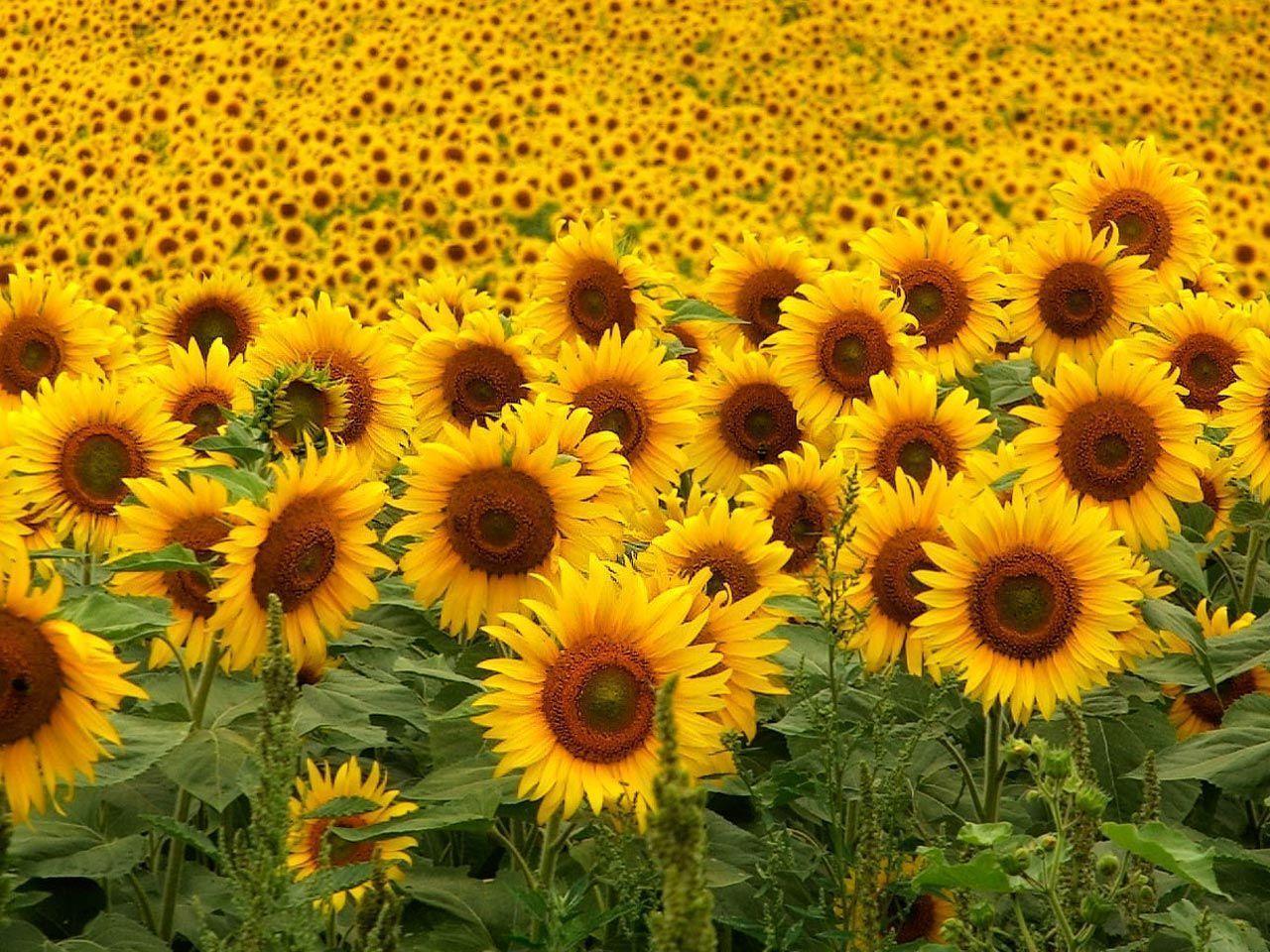 hinh nen hoa huong duong 15