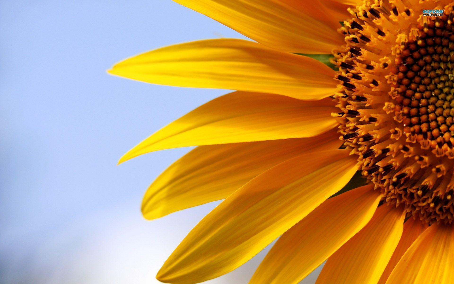 hinh nen hoa huong duong 17