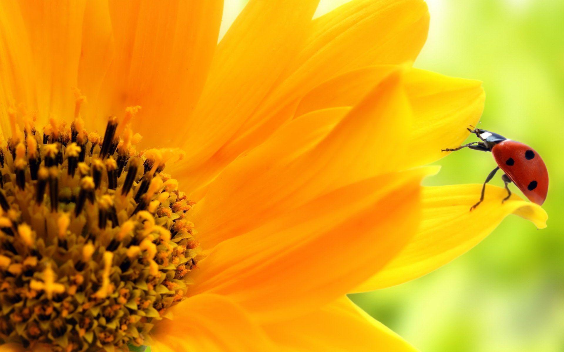 hinh nen hoa huong duong 20