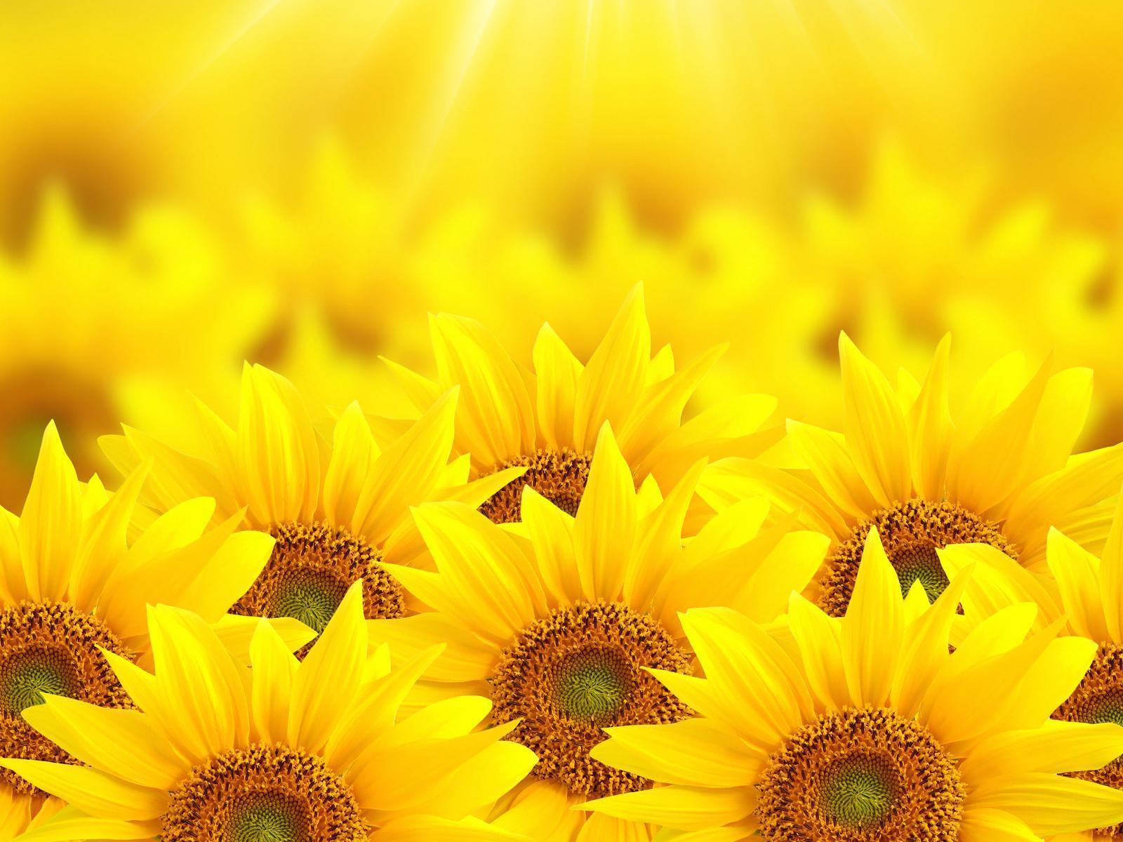 hinh nen hoa huong duong 7