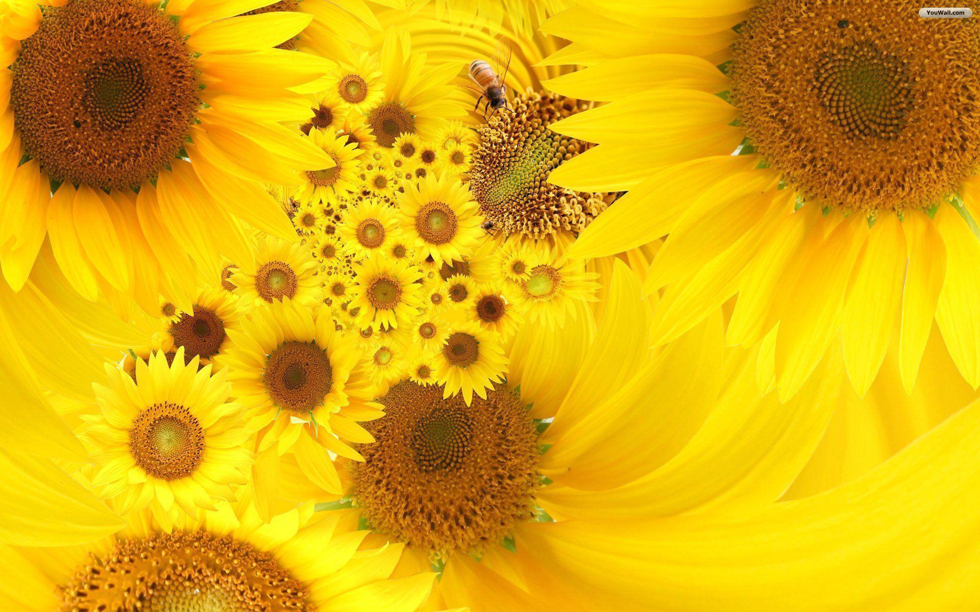 hinh nen hoa huong duong 8