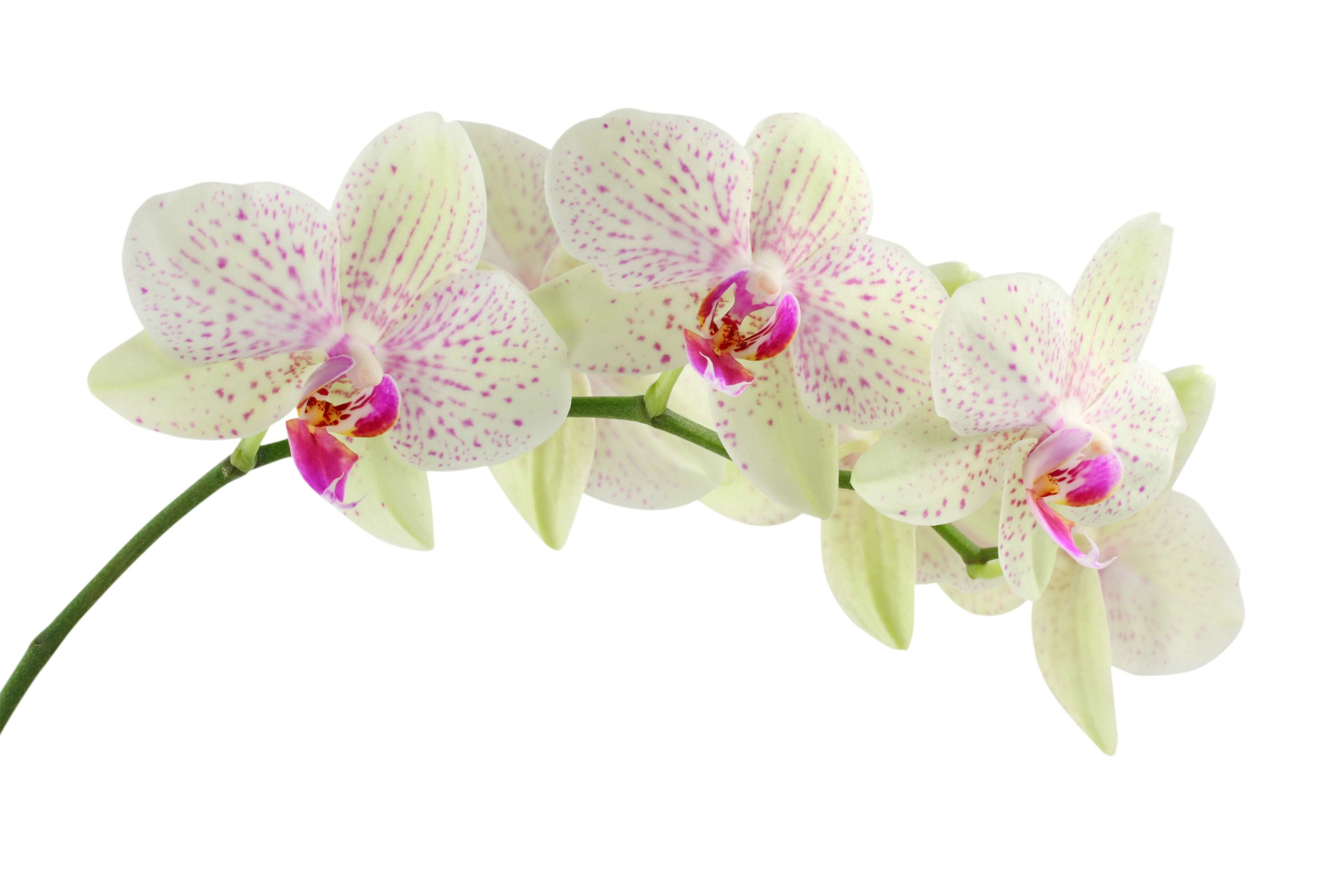 hinh nen hoa lan dep 16