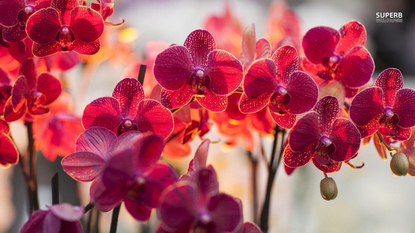 hinh nen hoa lan dep 24