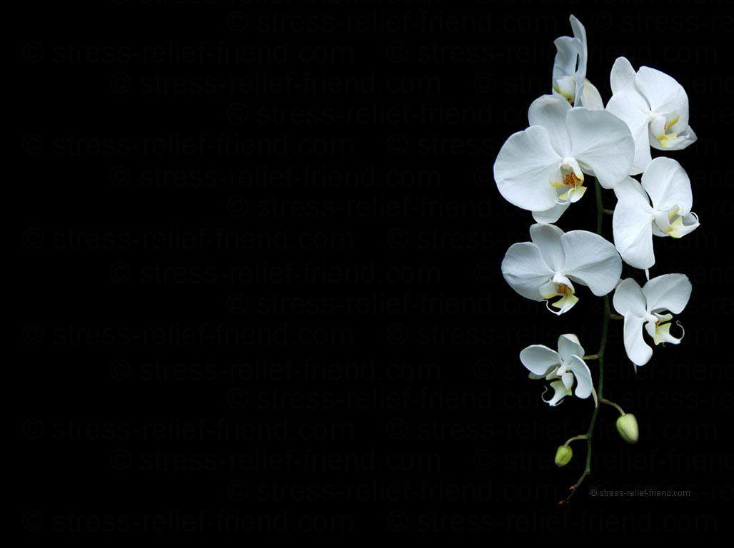 hinh nen hoa lan dep 27