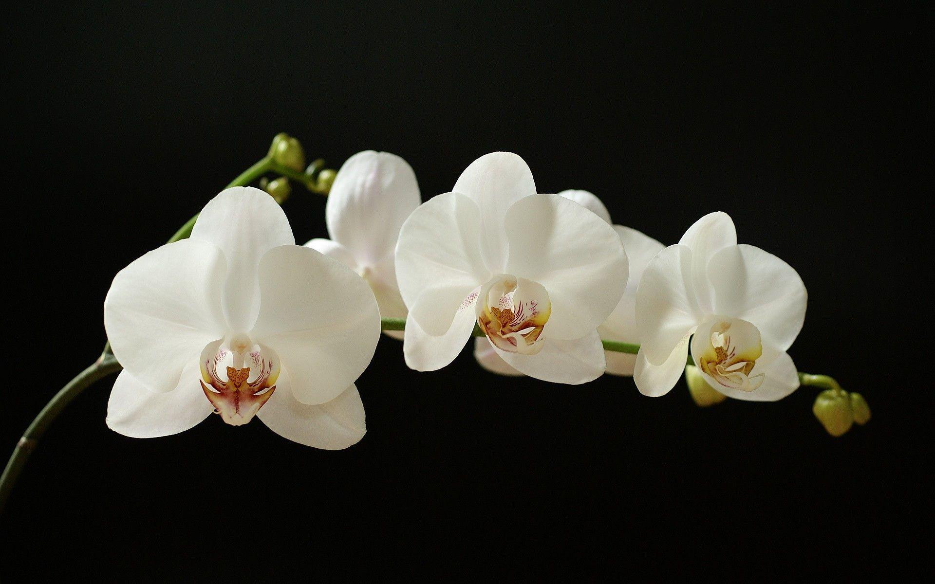 hinh nen hoa lan dep 39