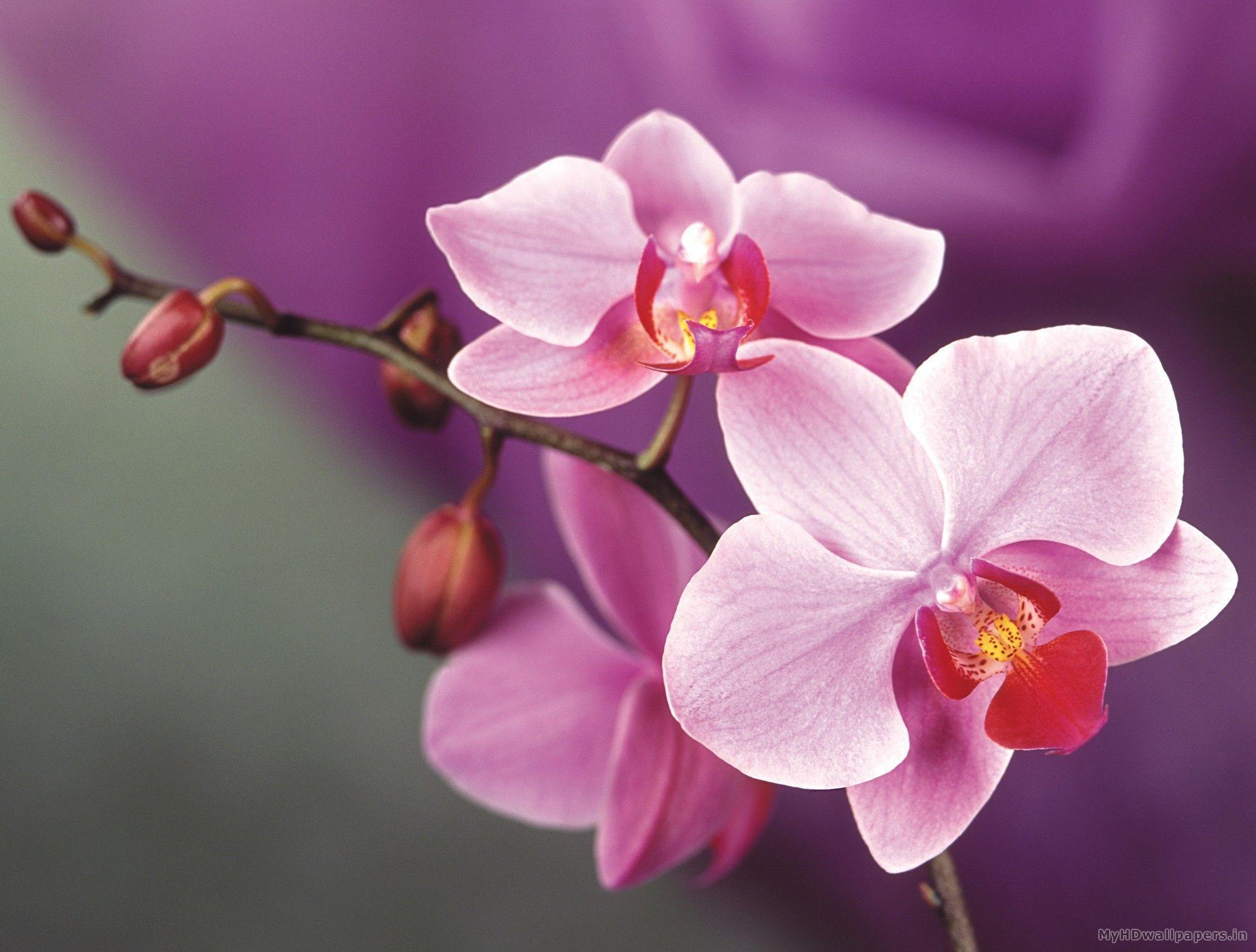 hinh nen hoa lan dep 52