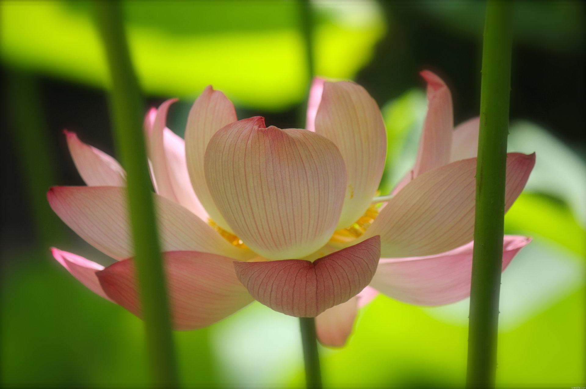 hoa sen 12