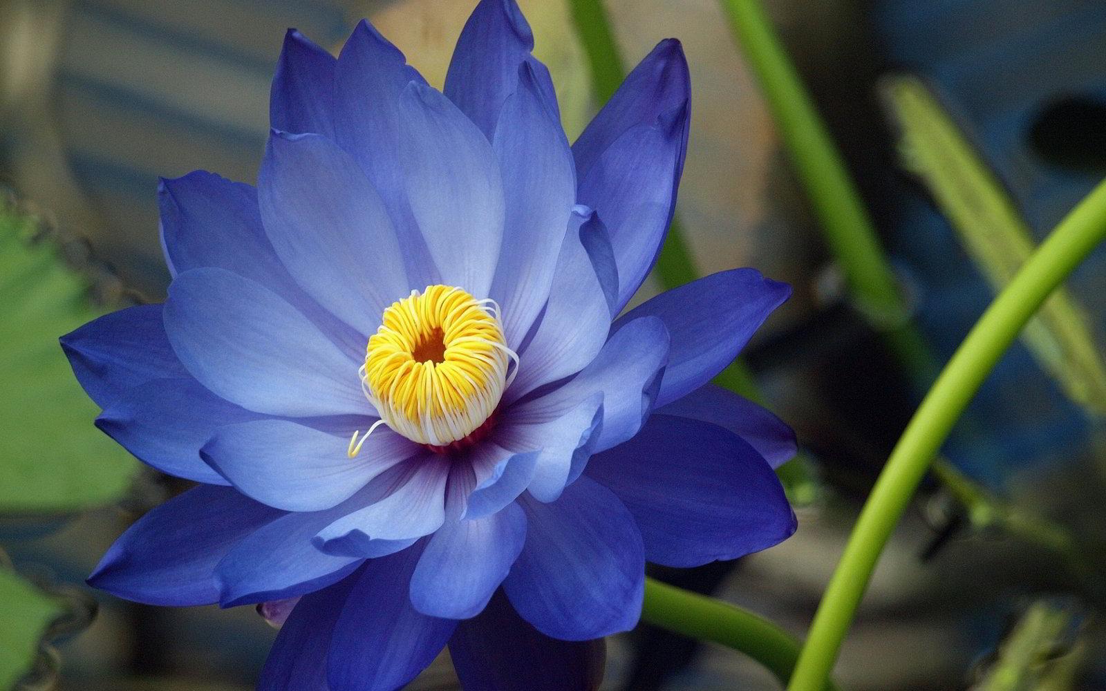 hoa sen 14
