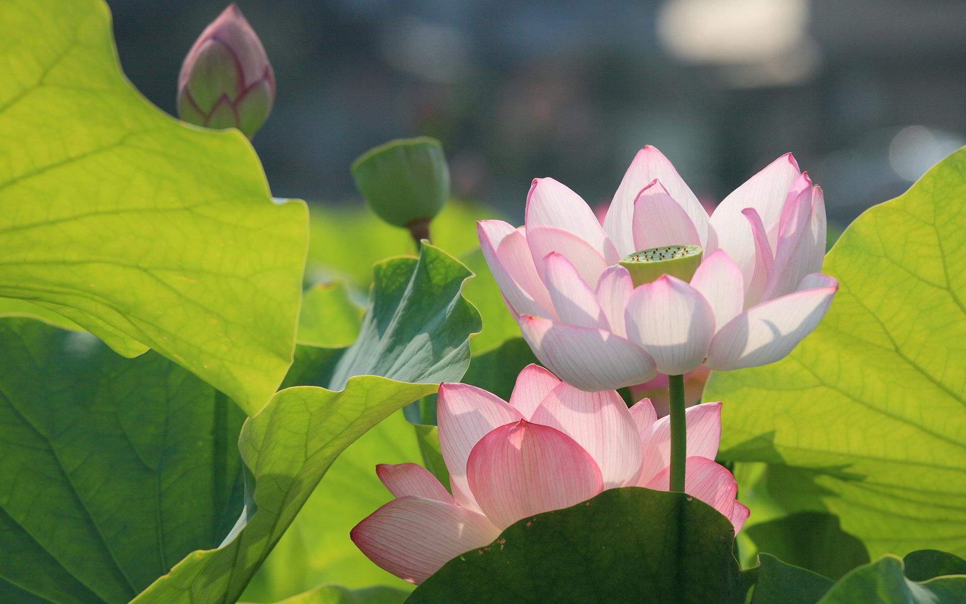 hoa sen 31