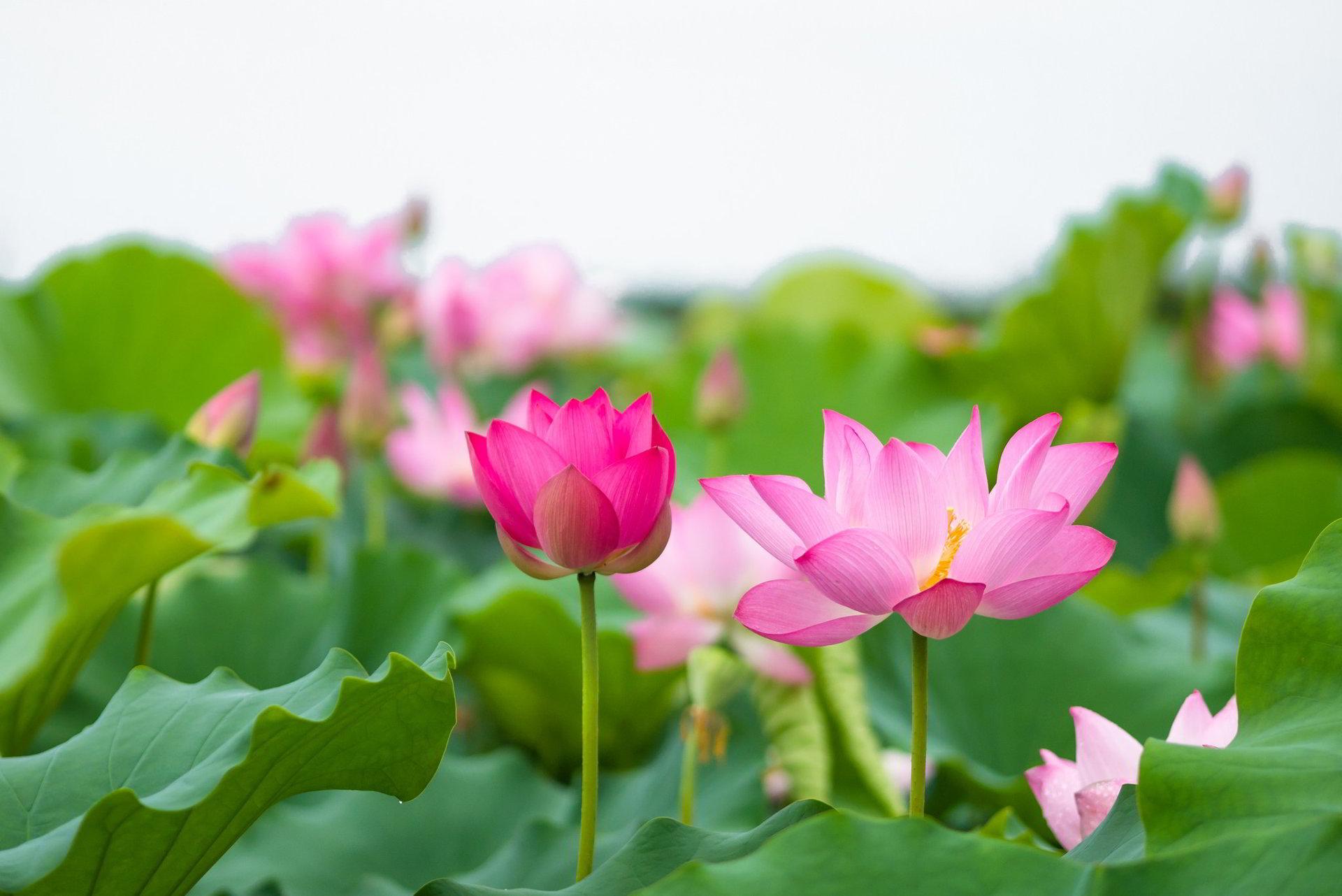 Trên đây là top những hình ảnh về hoa sen đẹp nhất mà chúng tôi gửi đến bạn. Chúc bạn ngắm hoa vui vẻ và tải được những hình ảnh mà mình ...