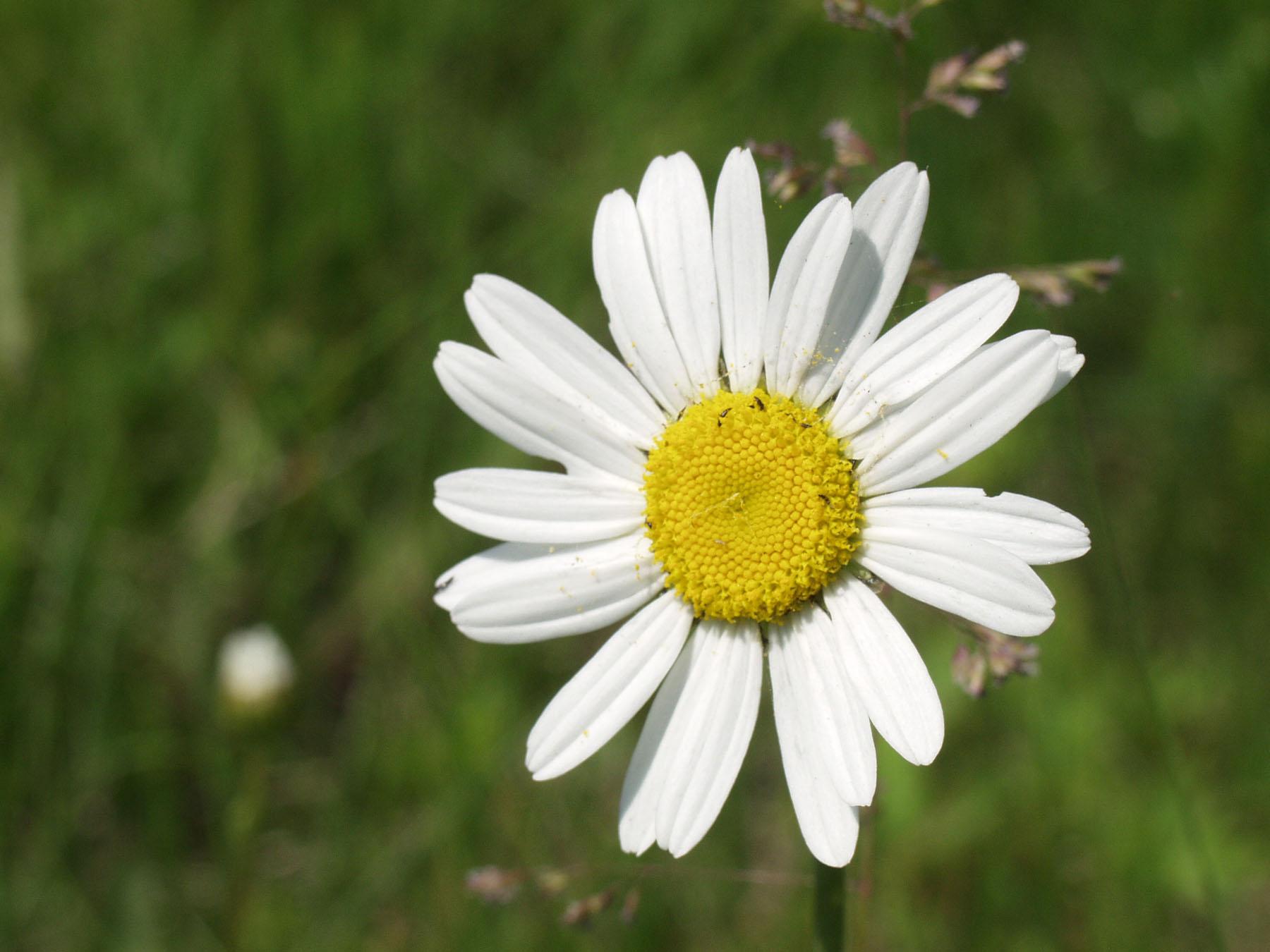 hinh anh hoa cuc dep 1
