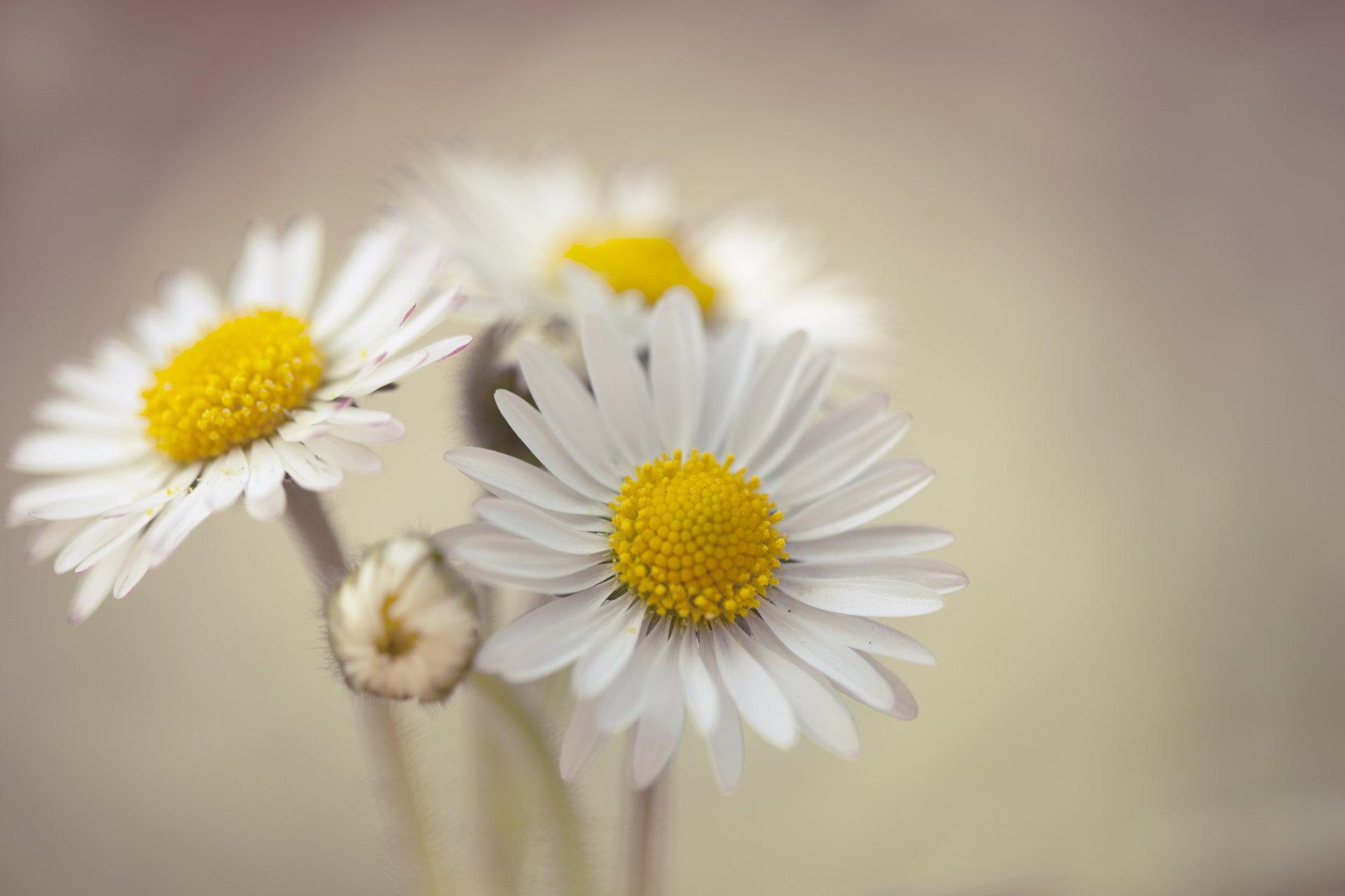 hinh anh hoa cuc dep 10