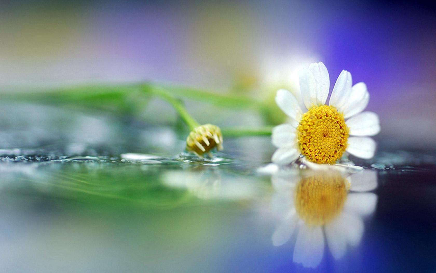 hinh anh hoa cuc dep 11